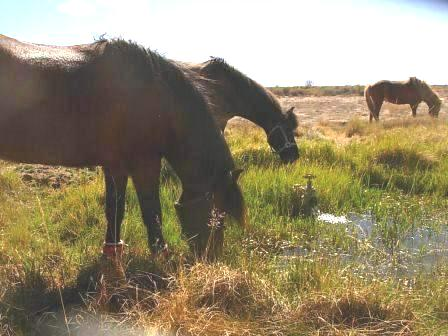 Horses enjoying the artesian well in San Luis Valley